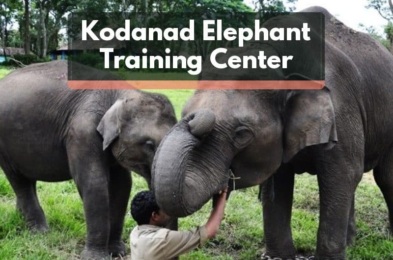 Featured image of Kodanad Elephant Training Center